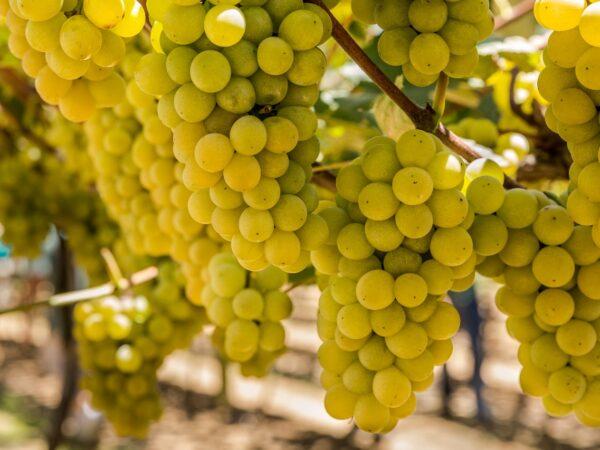 Em São Roque, tour pelos vinhedos da Vinícola Góes durante o mês de fevereiro